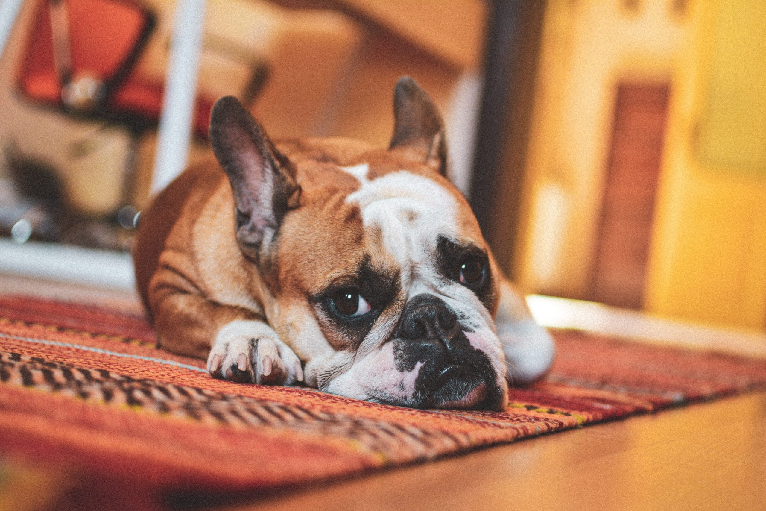 Home Renovation Tips for Pet-Friendly Floors and Carpets – Our Guide